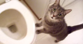 cute cat loves toilet flush