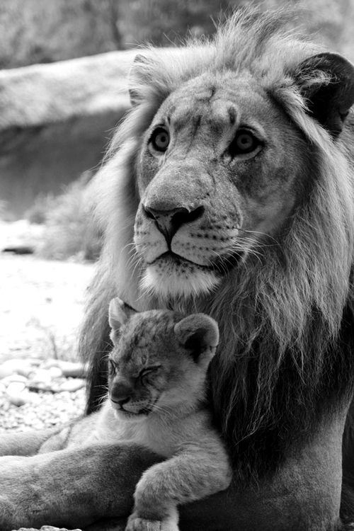 big-cat-lion-and-cub-family