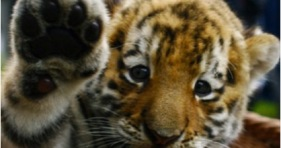 international-tiger-day-cats-save-tigers-big-cats