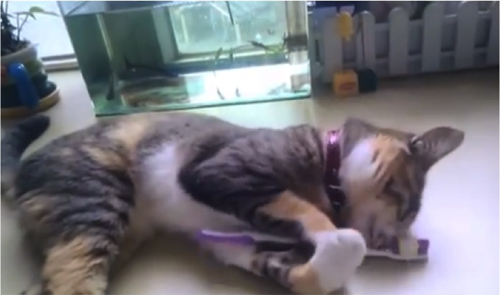 kitten loves toothbrush cats vs cancer
