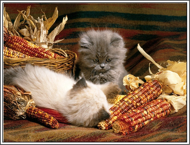thanksgiving cats & kittens cute corn ears