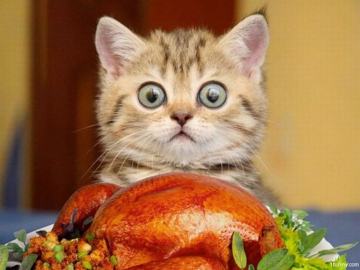thanksgiving cats turkey-kitten stuffing lolcat