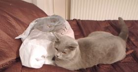 cat gets surprised by another cat in plastic bag