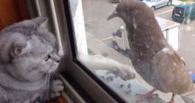 cat can't reach pigeon