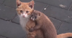 cat and ferret are best friends