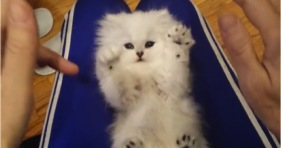 adorable fluffy kitten getting tickled