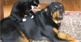 bravest kitten ever massages rottweiler cute