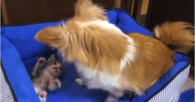 chihuahua and kitten best friends cute kitty adorable