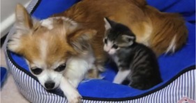 chihuahua and kitten besties cute adorable cats