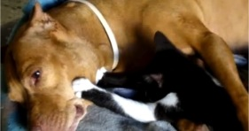 cute kitten massages pitbull