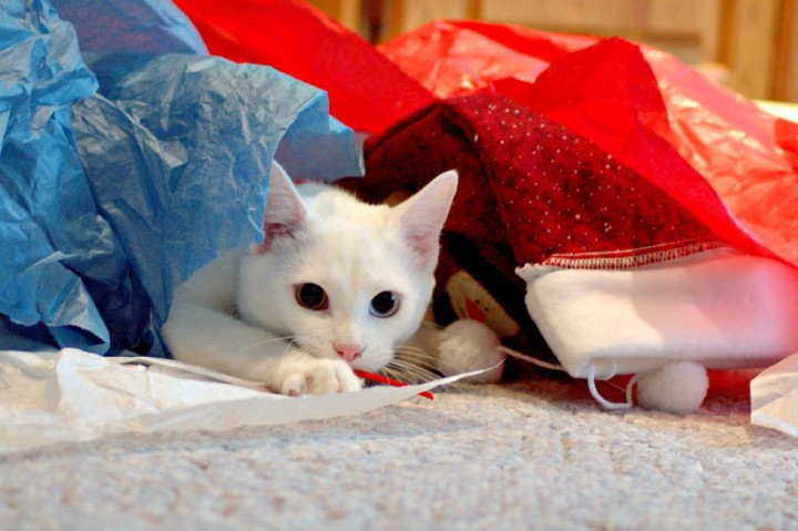 white cat unwrapping gifts funny kitten pic