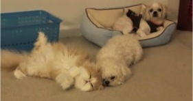 adorable fluffy persian kitty loves cute dogs