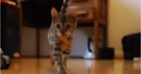 bengal kitten playing fetch