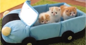 cute kittens take car for joy ride