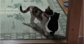 dog reicarnated as cat plays fetch