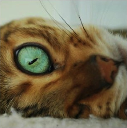 bengal kitty one beautiful cat eye