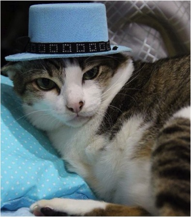 two-legged kitty adorable abel maew blue hat