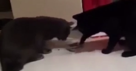 cat fight over dish