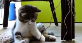 adorable jazz kitten playing with string