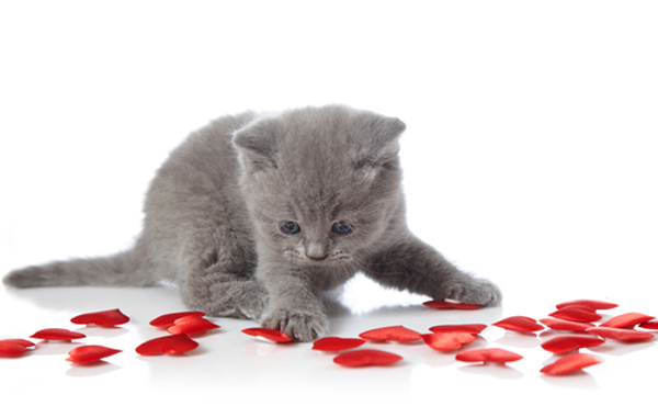 Celebrate Caturday With These Valentine S Day Kittens Cats Vs Cancer