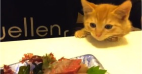 cute hungry kitten wants sushi