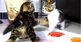dance battle kittens