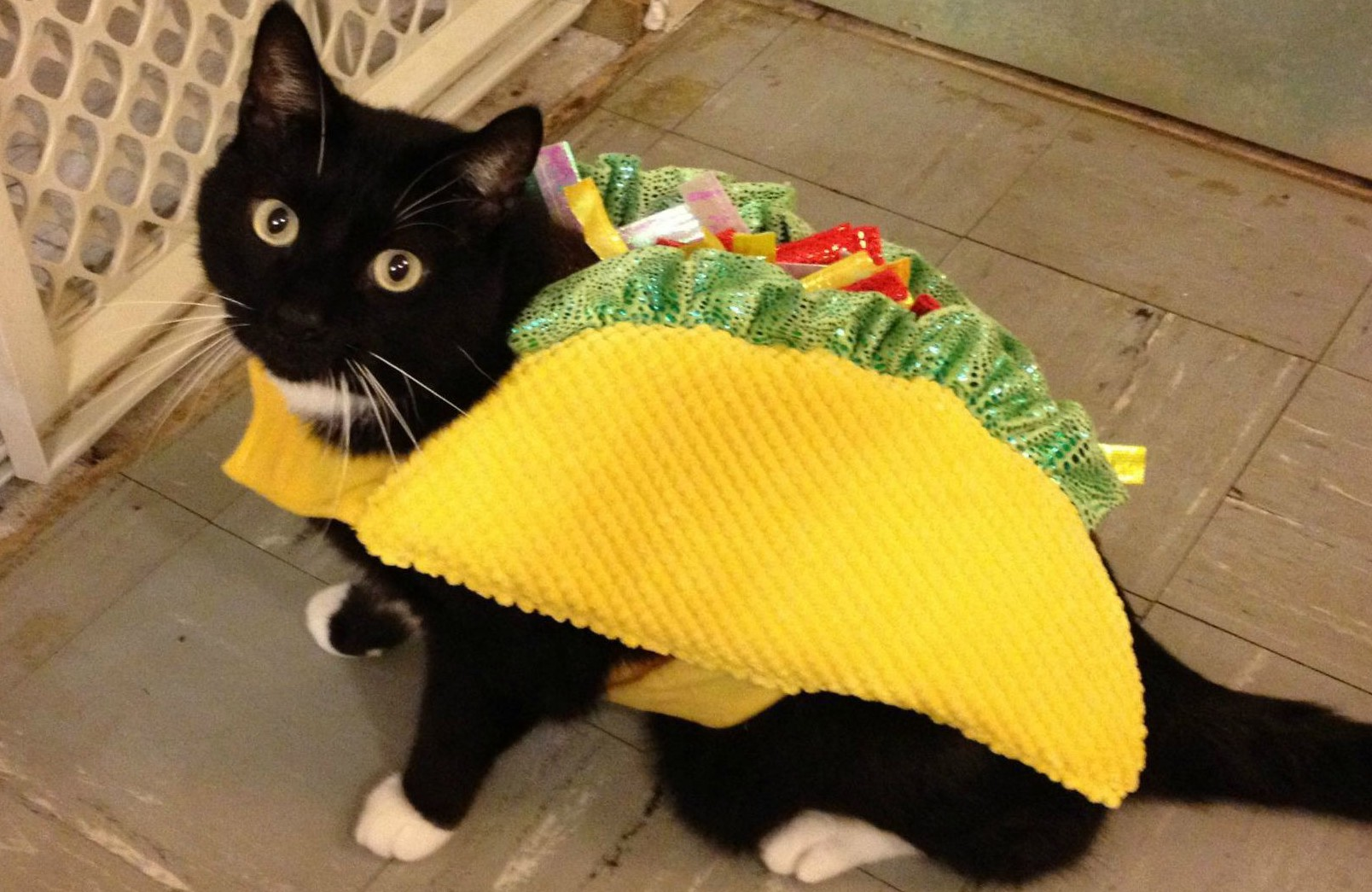 Cat Eating Mexican Food