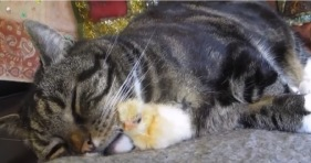 adorable cat and baby chick snuggle