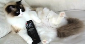 adorable fluffy laid back cat