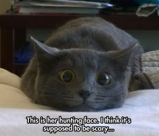 adorable furball kitty grey hunter