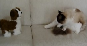 ragdoll cat makes new puppy friend