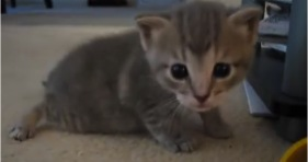 adorable grey wobbly kittens