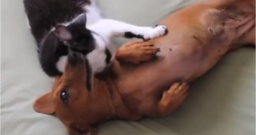 cat subdues excited dachshund pup