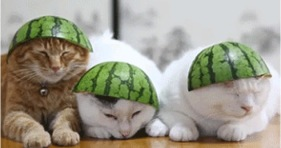 funny watermelon hat cats furballs