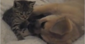 kitten loves puppy let's stay together