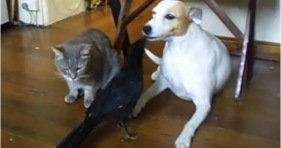 unlikely friendship raven, cat & dog
