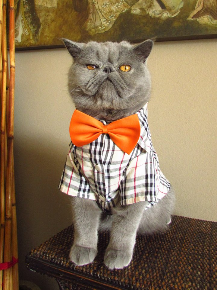 adorable grey kitty blue chip orange bow tie