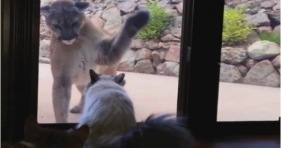 fearless house cat vs mountain lion