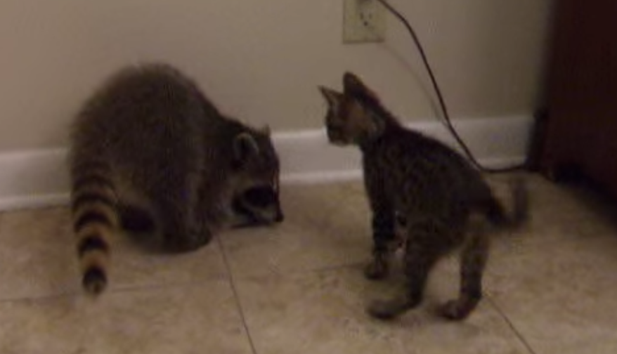 bff wrestling match kitten vs baby raccoon cats vs cancer