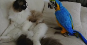 cute ragdoll kitty meets exotic parrot