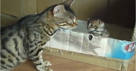 kitty mama bengal chats with kitten