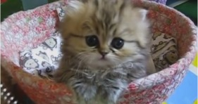 most adorable golden persian kitten alive