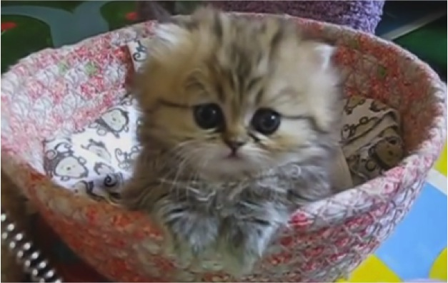Cutest Golden Persian Kitten Of All Time Cats Vs Cancer
