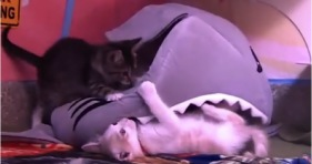 adorable kittens fend of shark attack