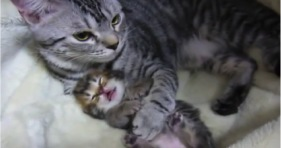 mama cat comforts adorable baby kitten