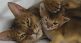 adorable abyssinian kitten mother loves daughter