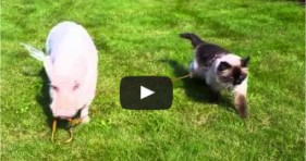 adorable pig and cat unlikely friendship