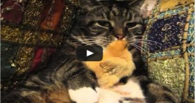adorable cat and baby chick unlikely friendship