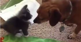 unlikely friendship cute grey kitten and dog