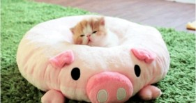 adorable piglet kitten bed caturday
